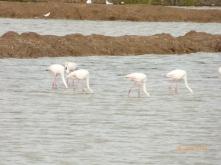 flamingostavira
