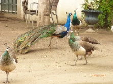 peacockspublicgardensevora