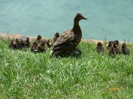 DuckDayCare?LakeBled
