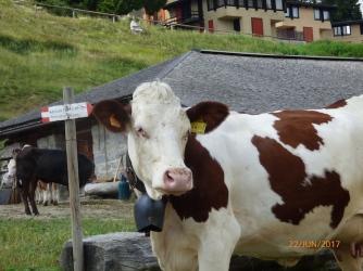 FriendlyDolomiteCow.Trentino