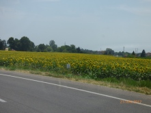 SunflowersGalore.Bologna